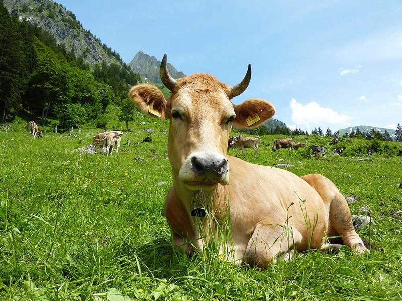 Eine Kuh macht Muh | Berggasthof Sonne Imberg in Sonthofen